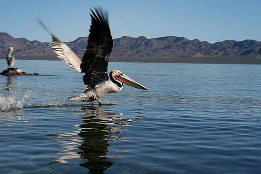 Pelican Takes Flight by Royce Gorsuch