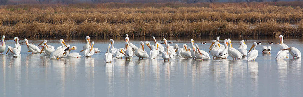 Chris Fullmer - Pelicans at the Yolo Bypass