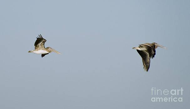 Tim Mulina - Pelicans in Flight 2