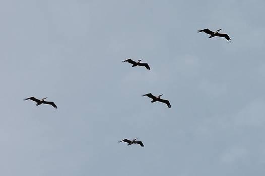 Pelicans In Flight II by Lorri Crossno