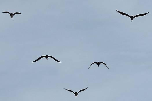 Pelicans In Flight by Lorri Crossno