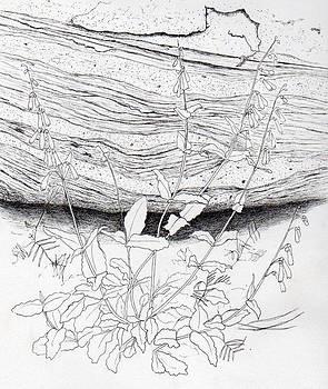 Penstemon by Inger Hutton