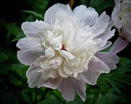 Peony Study Number One by Michael Putnam