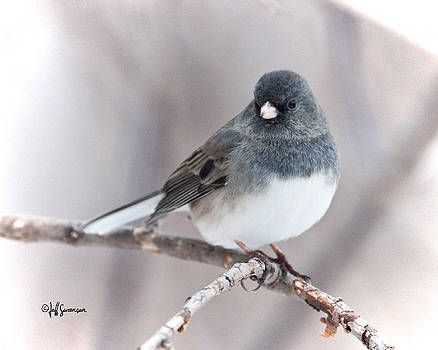 Perched Dark-Eyed Junco by Jeff Swanson