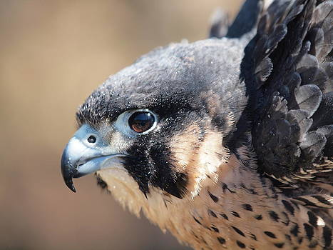 Peregrine Falcon at McLane Center by Peter Gray