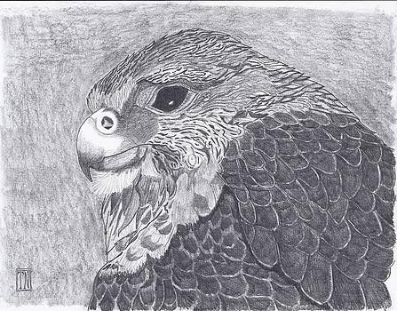 Pergrine Falcon head study by Tony  Nelson