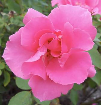 Lynnette Johns - Petals of Pink