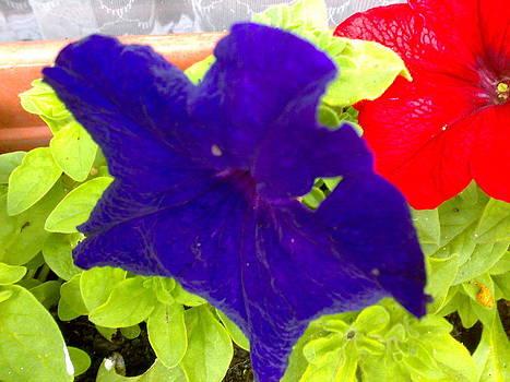 Petunia Blue by Tis Art