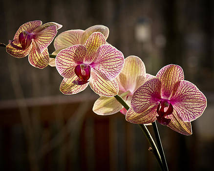 Phalaenopsis One by Michael Putnam