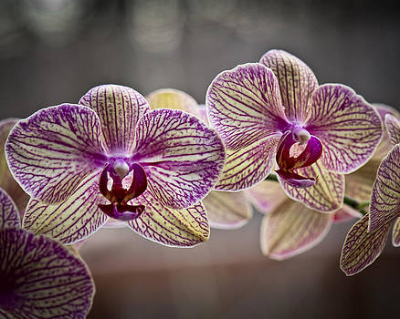 Phalaenopsis Two by Michael Putnam