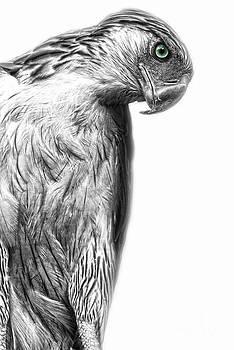 Yhun Suarez - Philippine Eagle