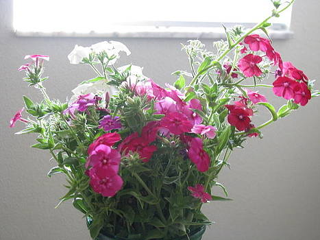 Phlox Under Window by Anita Stewart