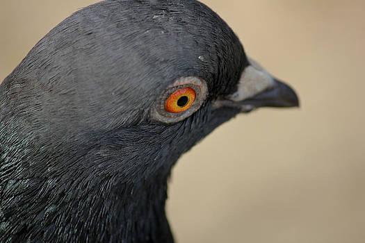 Pigeon closeup by Mathew Tonkin Henwood