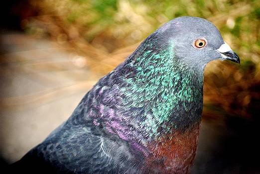 Pigeon by Ewa Kuc