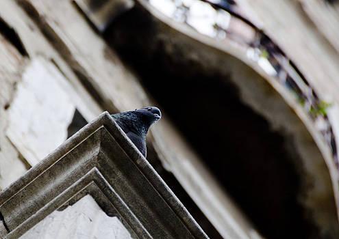 Pigeon by Marcel Krasner