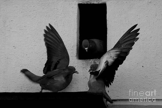 Pigeons by Vishakha Bhagat