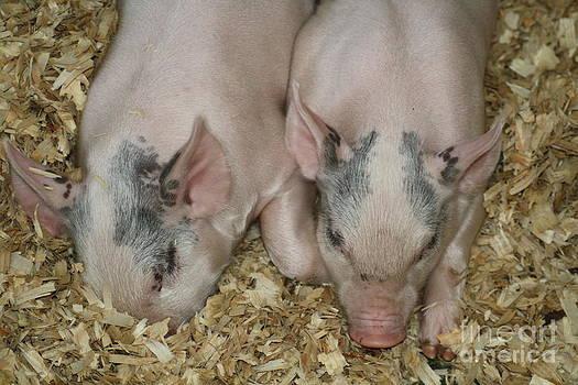 Piglets by Ralph Hecht