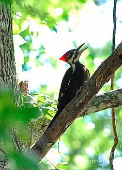 Wayne Nielsen - Pilated Woodpecker with Firey Knot