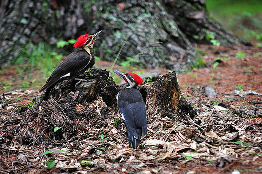 Pileated Woodpeckers by Roger Phipps