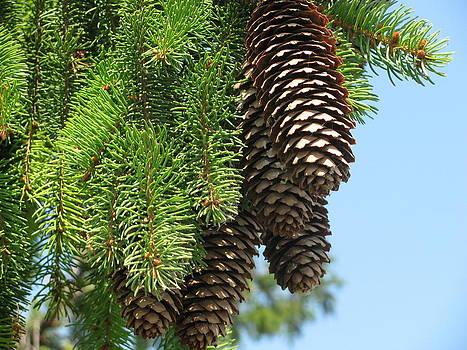 Pine Cones by Corinna Garza