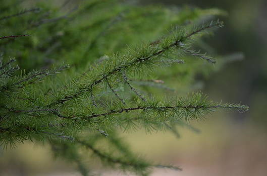 Pine Needles by Jennifer  King
