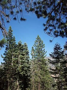 Steve Huang - Pine Trees