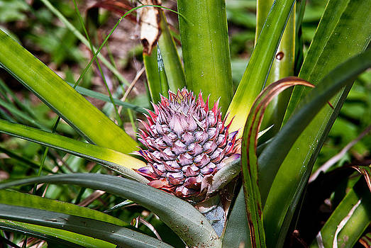 Pineapple Keiki by Ed Fenwick