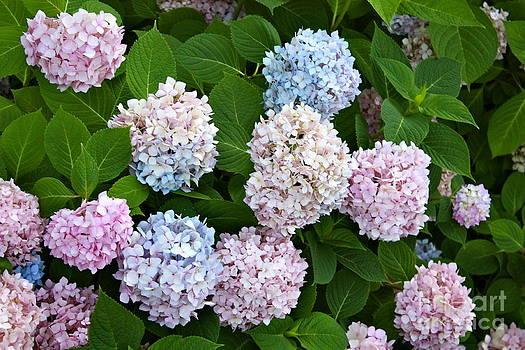 Pink and Blue Hydrangeas by Danielle Groenen