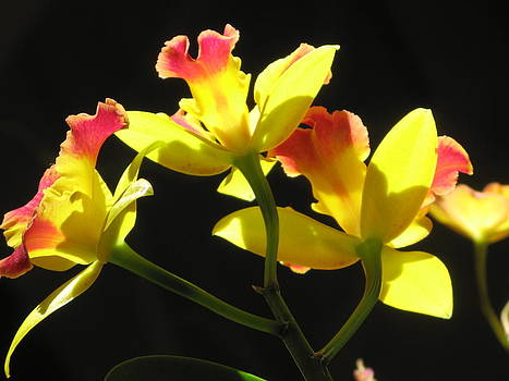 Alfred Ng - pink and yellow cattleya orchid