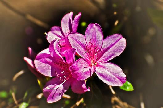 Pink Azaleas by Susan Leggett