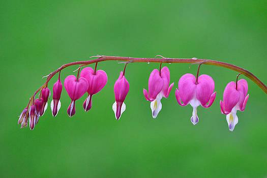 Pink bleeding Hearts by Hegde Photos