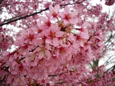 Pink Cherry Blossom Morning by Timothy Jones