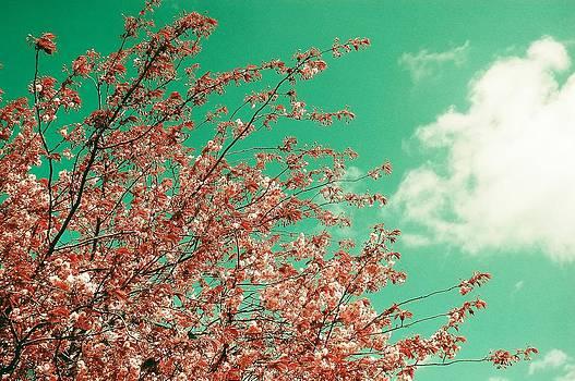 Pink cherry blossoms by Sonya Kanelstrand