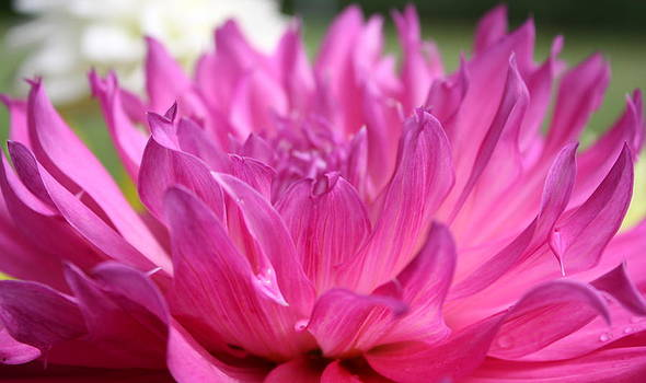 Annie Babineau - pink dahlia