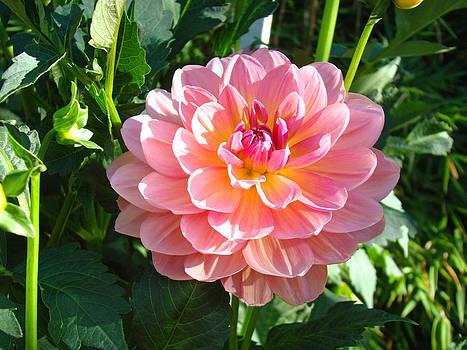 Baslee Troutman - Pink Dahlia Flowers art prints Dahlias Floral