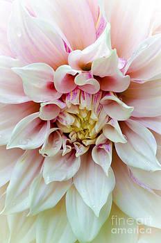 Christine Belt - Pink Dahlia No. 3
