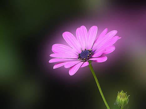 Pink daisy by Jesus Nicolas Castanon