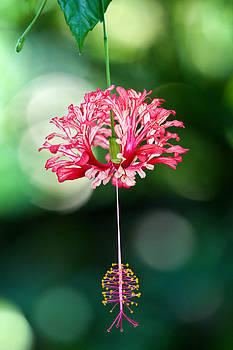 Pink Dangle I by Elizabeth Hart