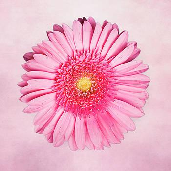 Tamyra Ayles - Pink Delight