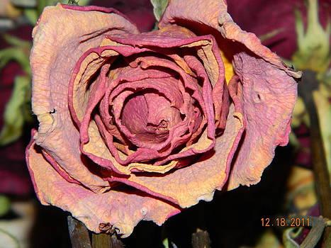 Pink Dry Rose by Kaysie Yeates