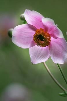 Pink Flower by Jennifer Englehardt