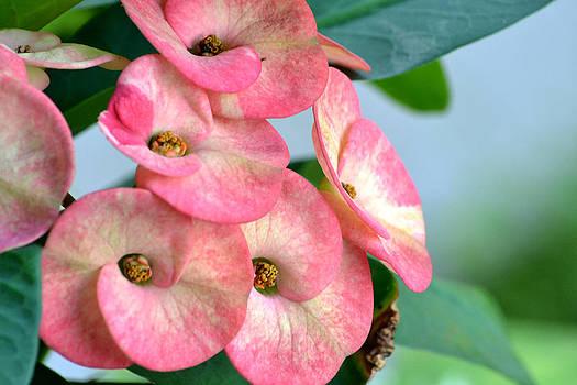 Pink Flower by Ku Azhar Ku Saud