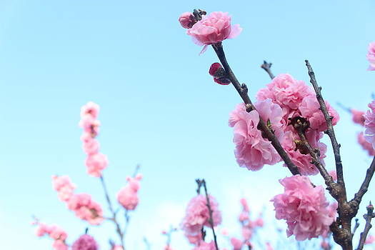 Pink Flowers by Allen Jiang