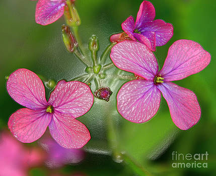 Pink flowers from Tras-os-Montes by Alexandra Bento