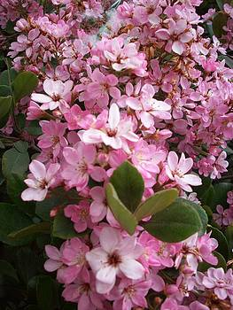 Steve Huang - Pink Flowers