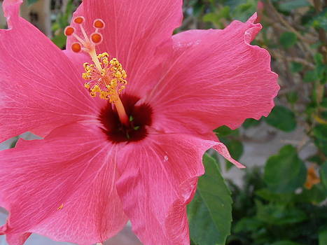 Kimberly Perry - Pink Hibiscus