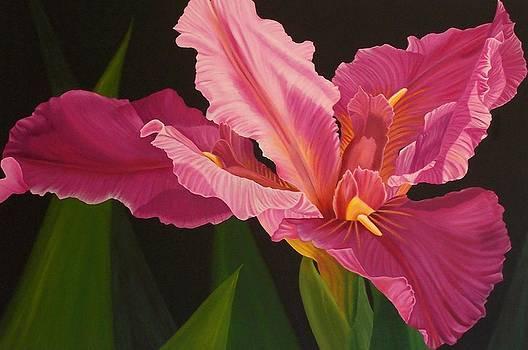 Pink Iris by Pera  Schillings