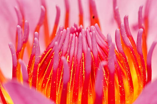 Pink Lotus In Thailand by Chatchawin Jampapha