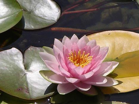 Pink Lotus by Monica Cranswick