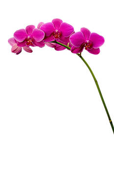 Pink Orchid Blossoms by Kevin Kratka